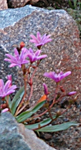 lewisiaxlongipetala-littleplum